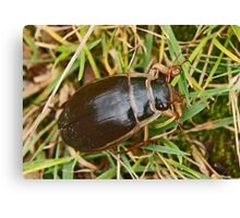Great Diving Beetle Canvas Print