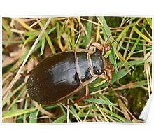Great Diving Beetle Poster