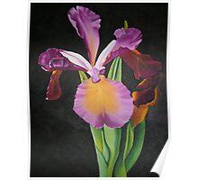 Iris on black Poster