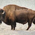 Buffalo by brotbackgeraet