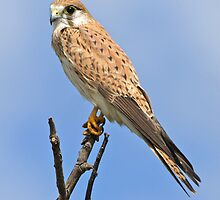 Nankeen Kestrel by Robert Elliott