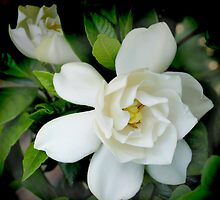Gardenia Delight by hopesarah