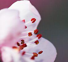 Nectarine Blossom by James  Messervy