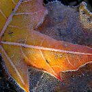 Frosty leaf by Annika Strömgren