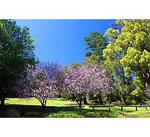 Two Pink Cherry Blossom Trees Photographic Print
