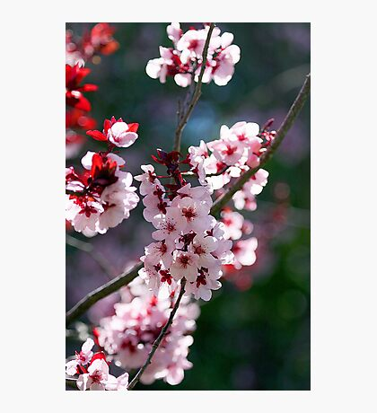 Pink Cherry Blossom Flowers Photographic Print