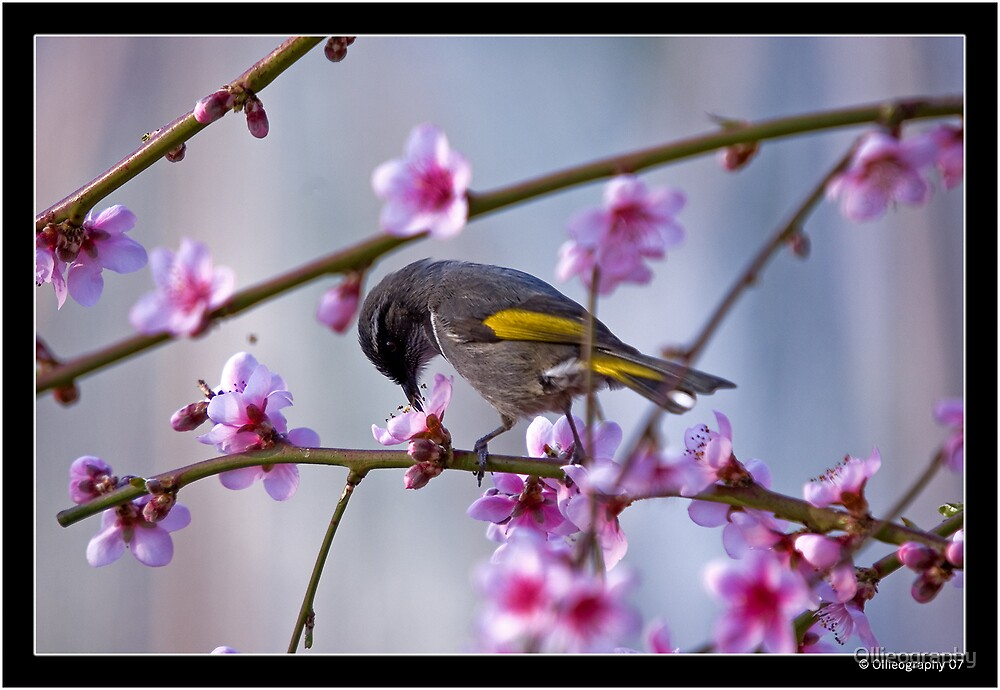 Cherry Blossom Lunch by Ollieography