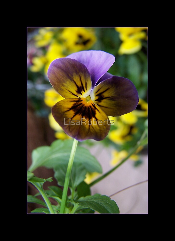Pansy by LisaRoberts