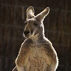 King Kangaroo by Nigel Roulston