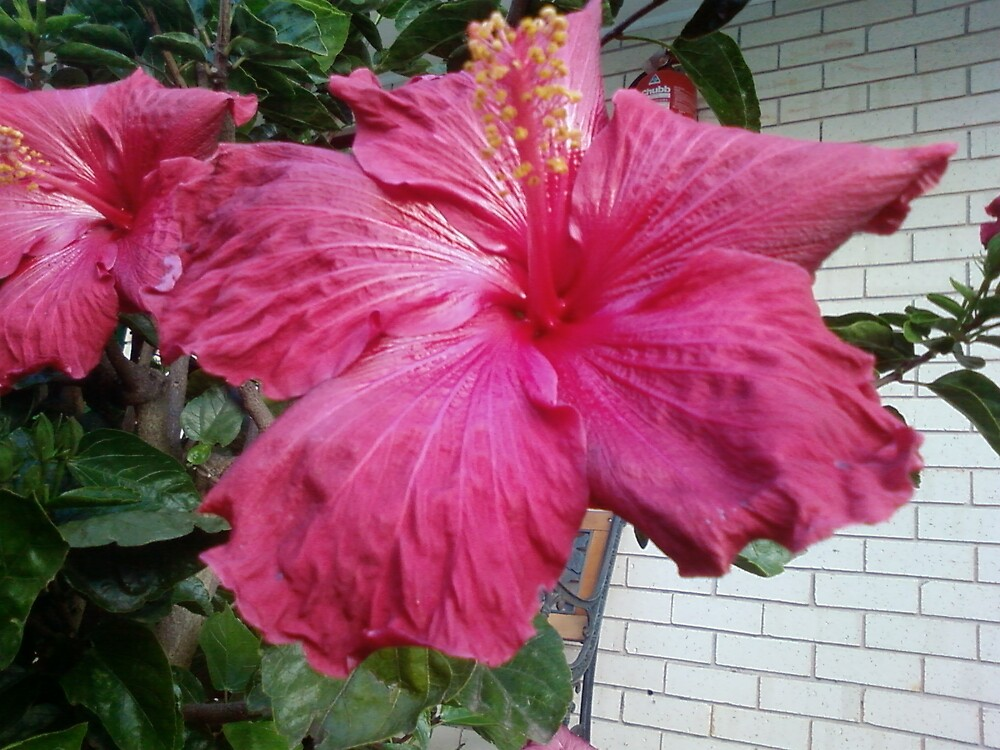 Hibiscus by Kerron