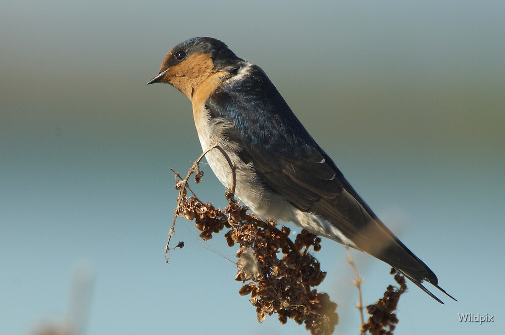 Welcome Swallow by Wildpix