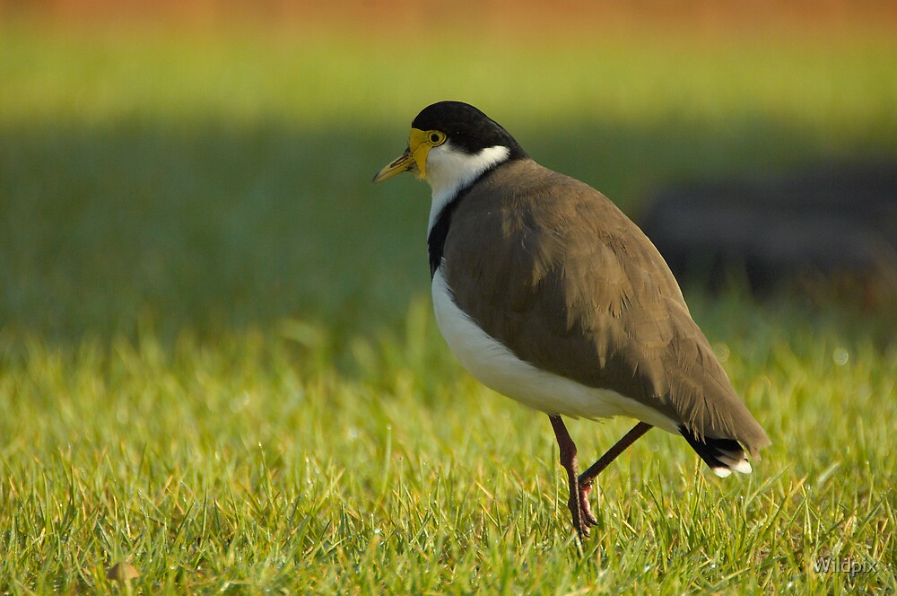 Masked Lapwing by Wildpix