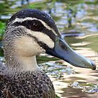 Pacific Black Duck by Robert Elliott