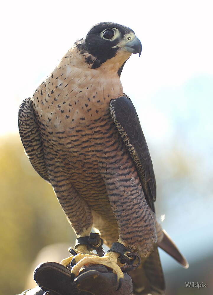 A Falconer's Dream by Wildpix