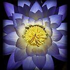 Kakadu Lily by anthony1957
