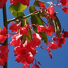Tree Begonia by Nicky21