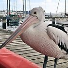 A VERY FRIENDLY PELICAN by Margaret Stevens