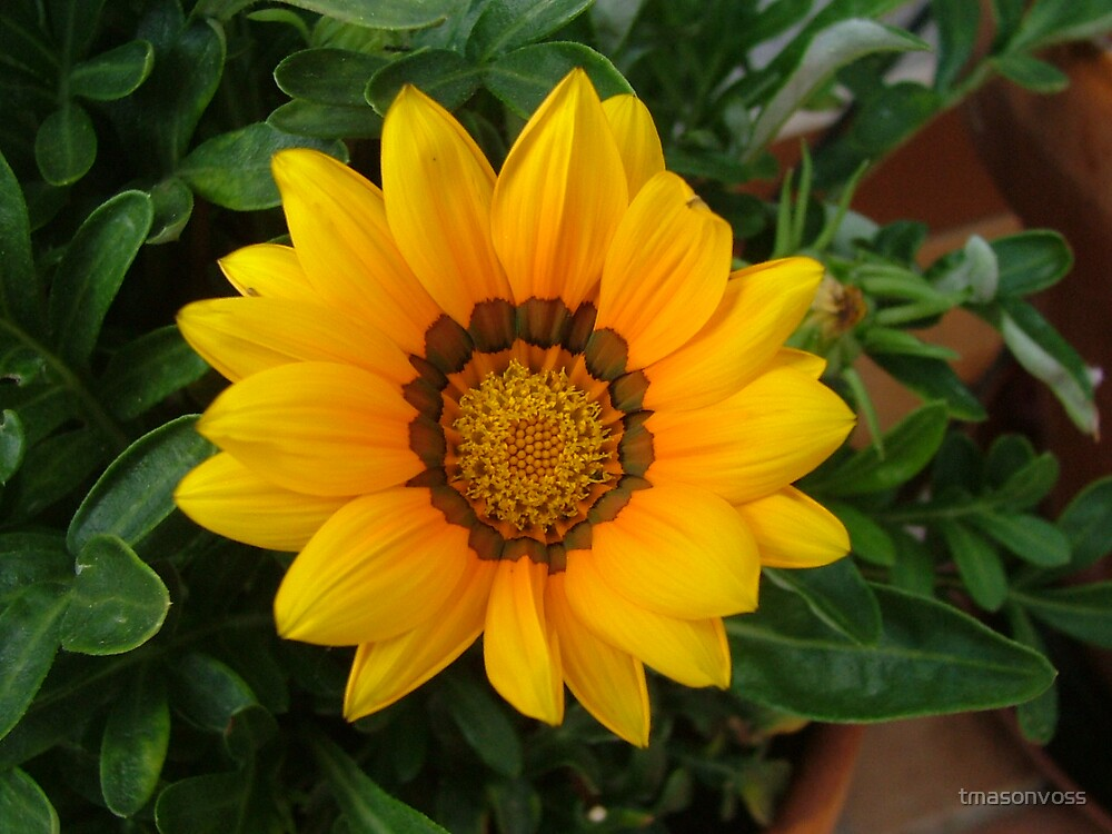 flower by tmasonvoss