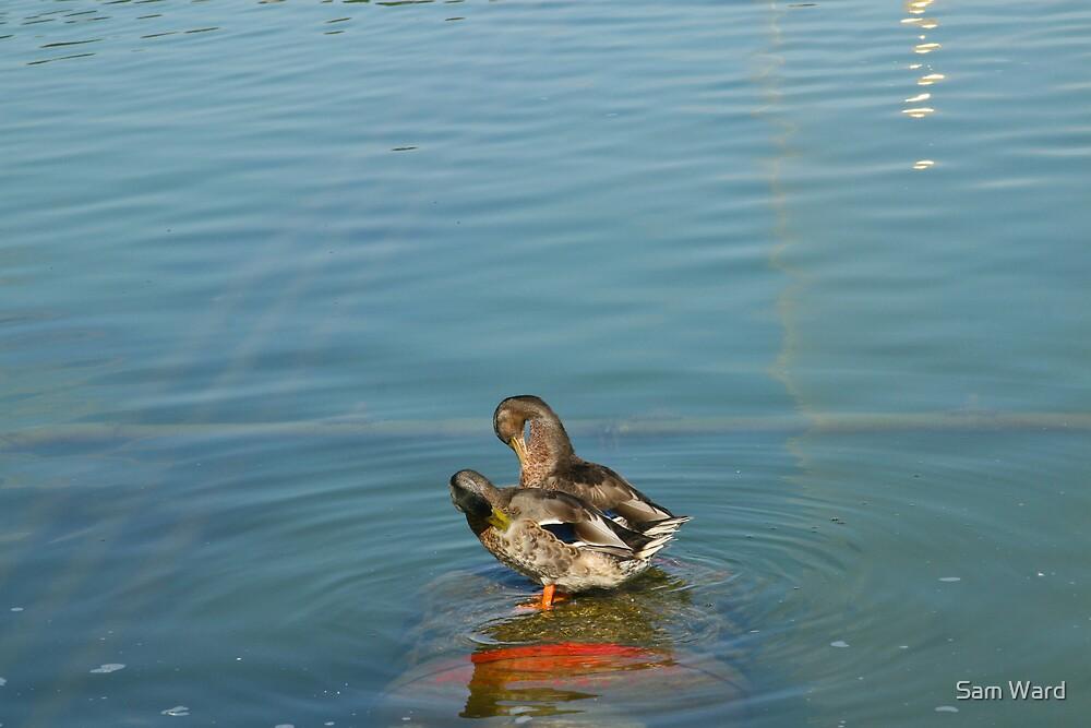 Ducks on a pond by Sam Ward