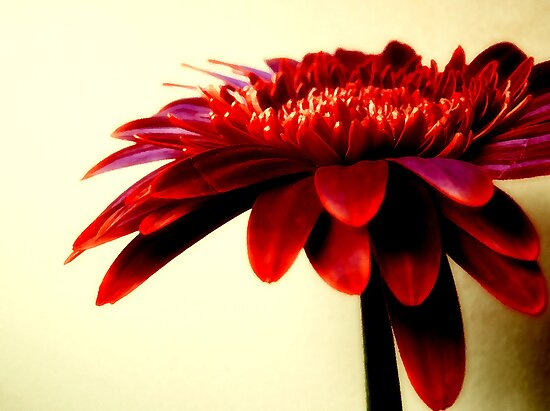 gerbera reds by webgrrl