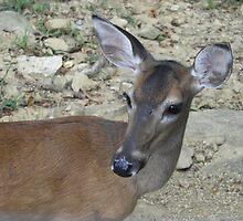 deer by Lorrie