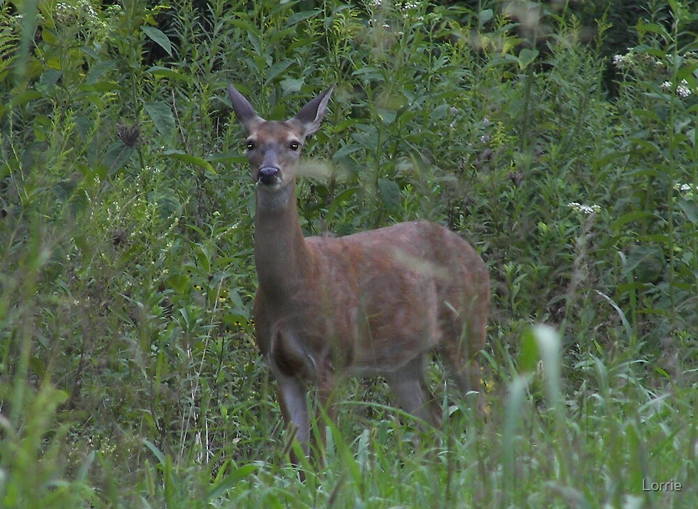 Deer/Tennessee by Lorrie