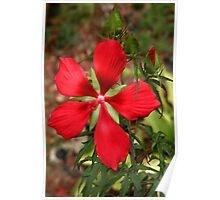 Texas Star Hibiscus II Poster