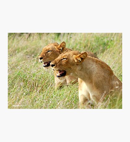 DOUBLE TROUBLE - The lionesses - Panthera leo Photographic Print