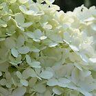 White Hydrangea by Kelley Shannon