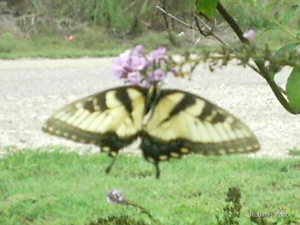 Butterfly by Robin Harrison