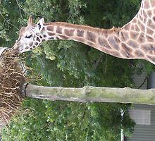 giraffe by jo1987