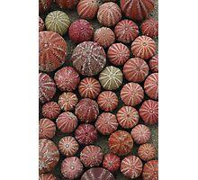 Urchins Photographic Print