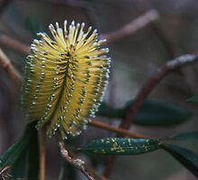 Banksia integrifolia by Anny Arden