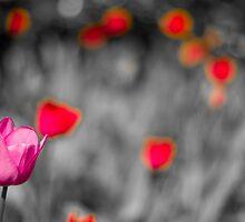 Tulip Field by AidanW