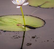 Kakadu Lily Sticker