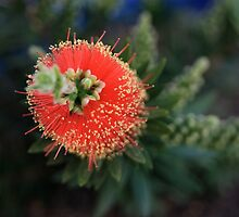 Callistemon (bottlebrush) by Anny Arden