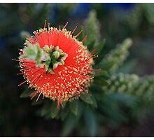 Callistemon (bottlebrush) Photographic Print