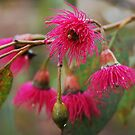 Corymbia flowers by Anny Arden