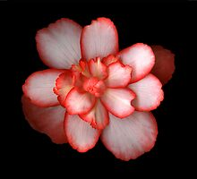 Three Begonia's by Jeffrey  Sinnock