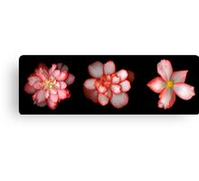 Three Begonia's Canvas Print