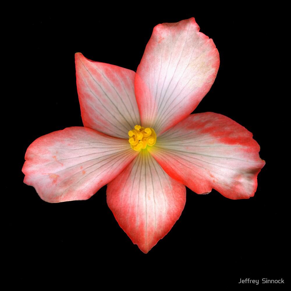 Begonia 1 by Jeffrey  Sinnock
