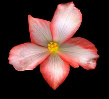 Begonia 1 by Jeffrey  Sinnock