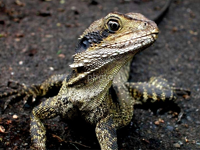 photoj Australia Lizard by photoj