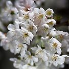 White As Spring Blossom by Joy Watson