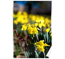 Daffodil Day Poster