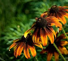 Coneflowers by Maria A. Barnowl