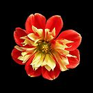 Dahlia red-yellow (I) by Evelyn Laeschke