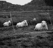 Sheep by Chris Goor