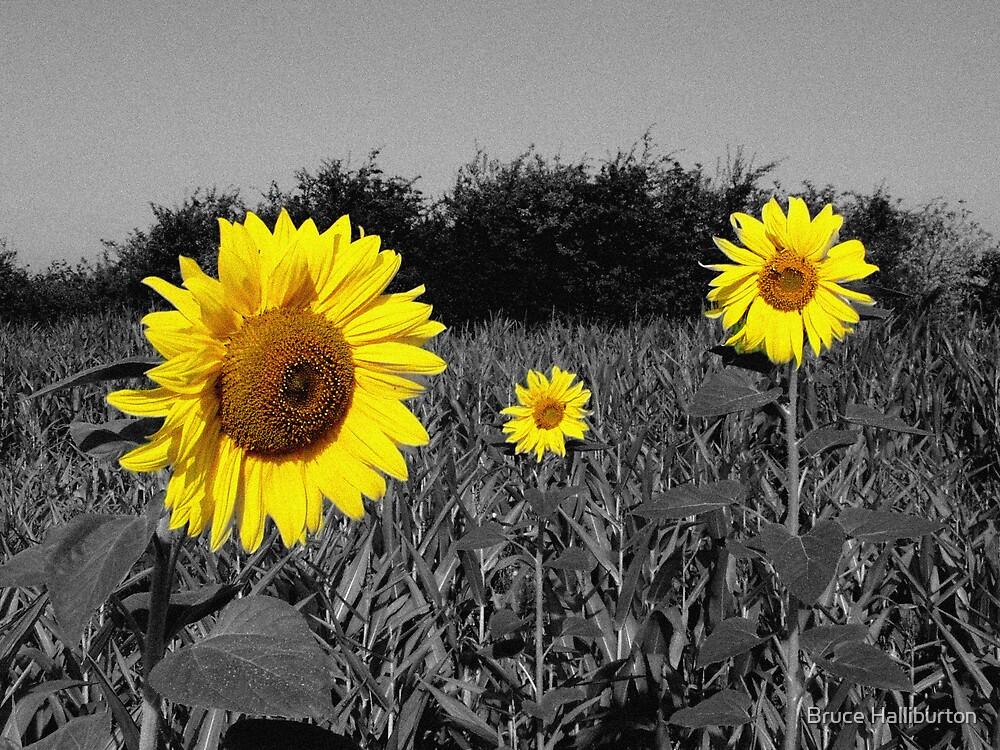 Three Sunflowers by Bruce Halliburton
