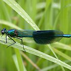 Banded Demoiselle by cappa